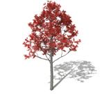 XfrogPlants Illawara Flame Tree