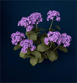 XfrogPlants Hortensia
