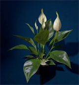 XfrogPlants Peace Lily